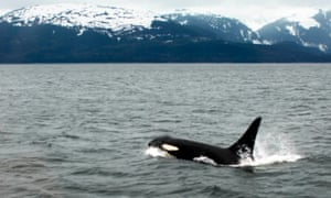 Wild orca photos, showing the environment they live in naturally as opposed to the small, barren pools at Sea World