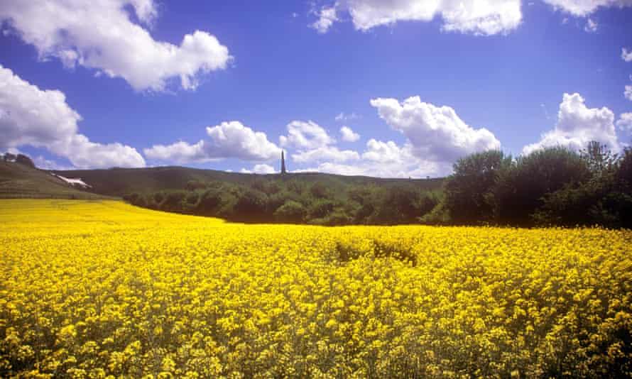 Rape field at the Cherhill White Horse, Calne, Wiltshire.