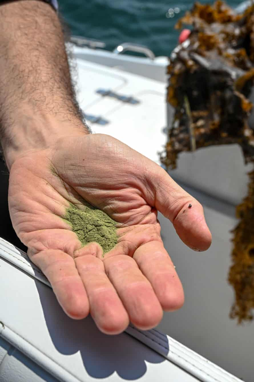 Sean Barrett holds out a sample of RegenSea, finely milled kelp meal fertilizer.