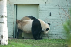 Yang Guang (pictured) and Tian Tian are at Edinburgh Zoo on a 10-year loan from China