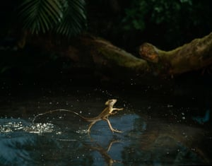 A Basilisk lizard, photographed in 1988,  running across water