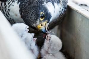 Feeding their chicks