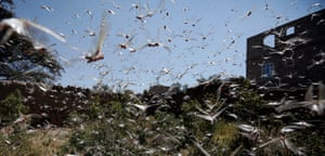 Swarms of desert locusts have spread throughout several cities in Yemen