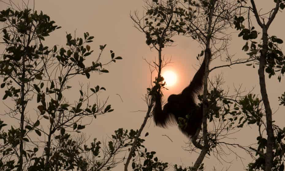 An orangutan seen through a haze caused by forest clearing in Borneo, Indonesia.