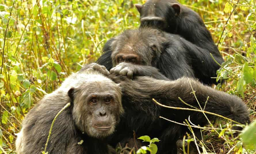 Three male chimpanzees grooming together