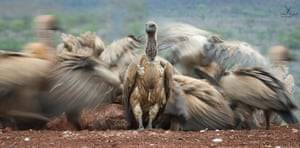 White-backed vulture, Zimanga, South Africa