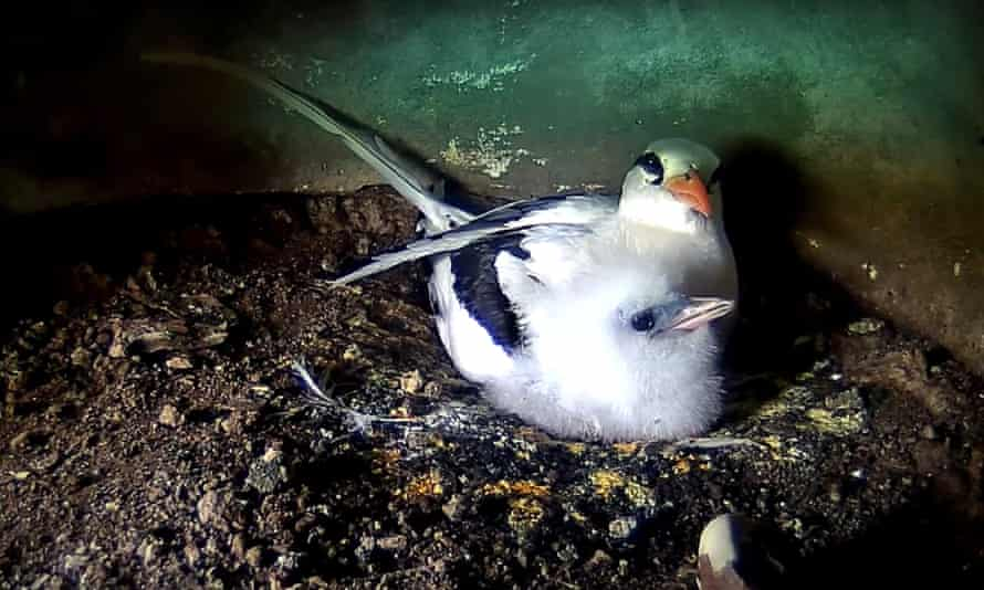 'Now is the moment to get hooked, as the eggs start to hatch': a female white-tailed tropicbird sits with her young chick.