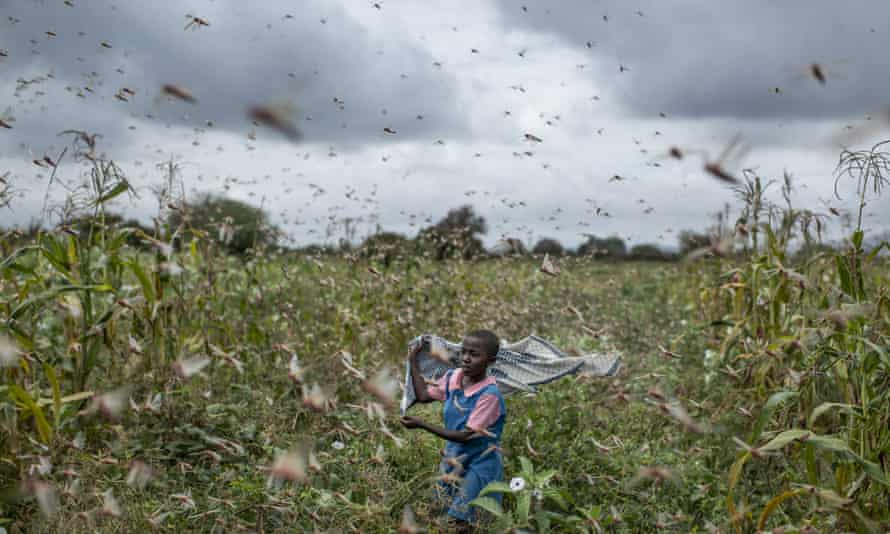 A farmer's daughter waves her shawl to chase away swarms of desert locusts