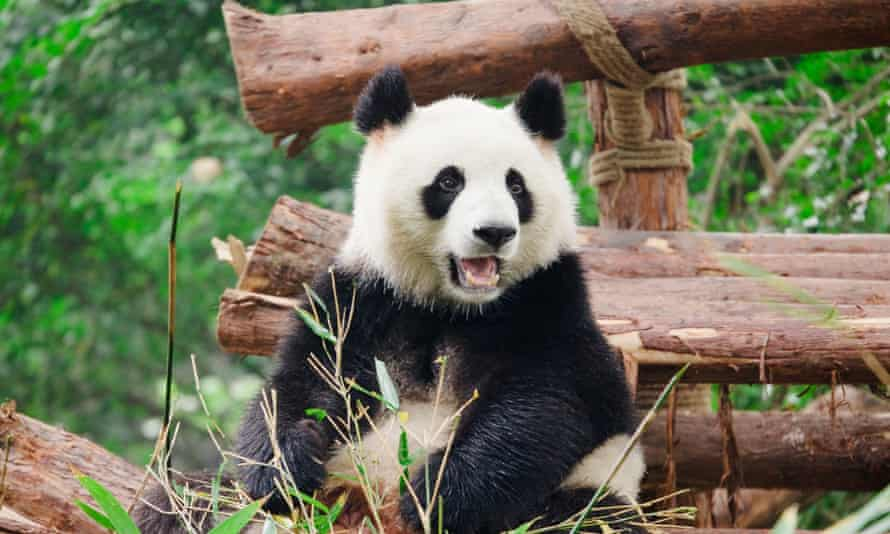 Giant pandas in Sichuan are at risk from illegal deforestation, Greenpeace says.