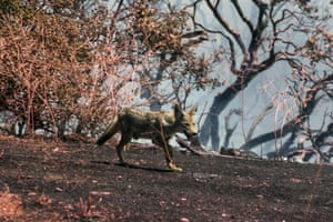 A coyote runs away from the Apple fire in Cherry Valley.