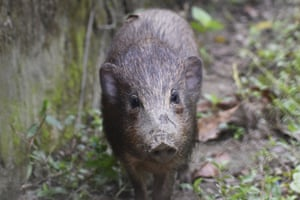 In India, an adult male pygmy hog is under lockdown because of the first outbreak of African Swine Fever in the country. The pygmy hog is the world's smallest and rarest wild pig, and there is neither a vaccine nor a cure for the virus