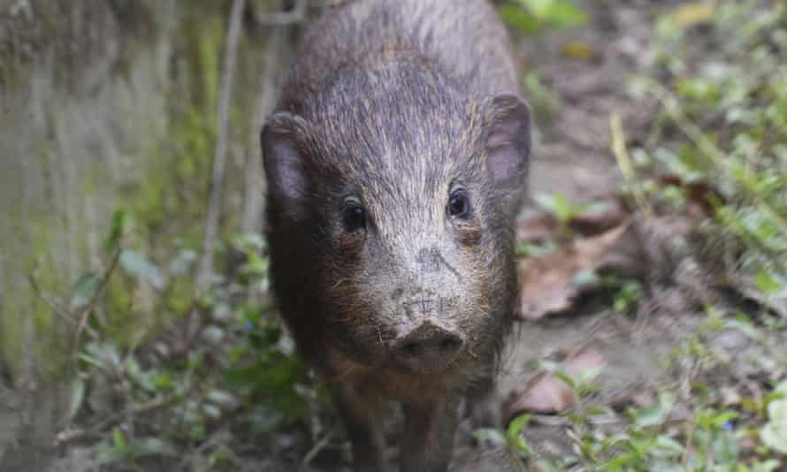 An adult male pygmy hog in India.