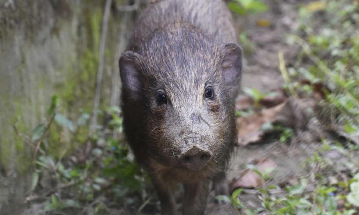 An adult male pygmy hog in India. Photograph: Parag Deka/AP