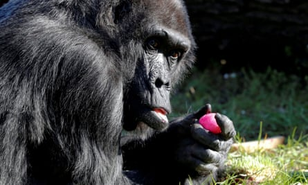 The gorillas at the Orana Wildlife Park eat up to NZ$800 of vegetables a week. The zoo's revenue has plummeted because no one can visit during the coronavirus crisis.