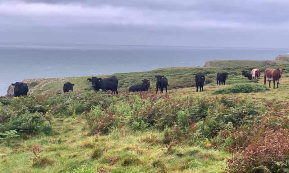 Hardy Welsh Black cattle graze clifftops in south-west Gower