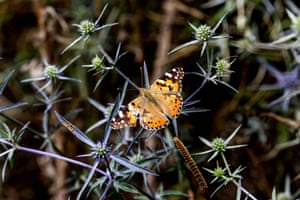 """The Vanessa cardui (""""Painted Lady"""") butterfly rests on a plant in Iran's the Hyrcanian forest"""