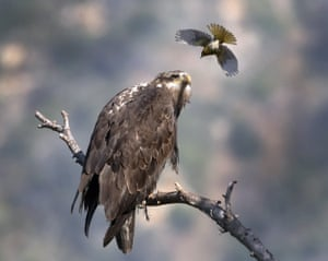 A Bullock's oriole bird swoops at a young bald eagle, San Gabriel Mountains, California, America