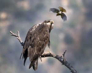 A Bullock's oriole bird swoops at a young bald eagle, San Gabriel Mountains, California, US