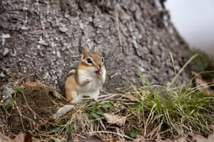 A chipmunk (Tamias), part of the Sciuridae family, forages for food in Ontario, Canada