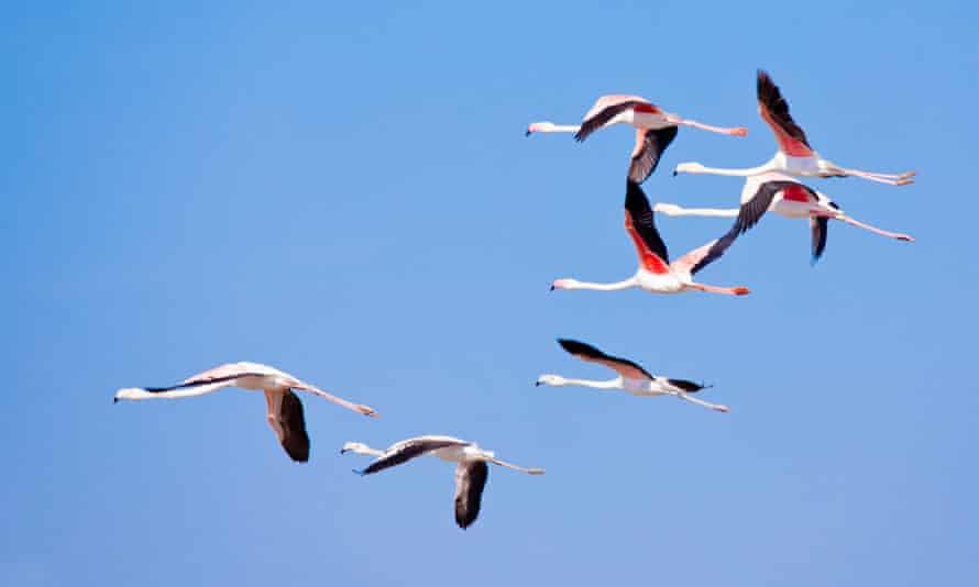 Flamingos flying over the Delta del Llobregat.
