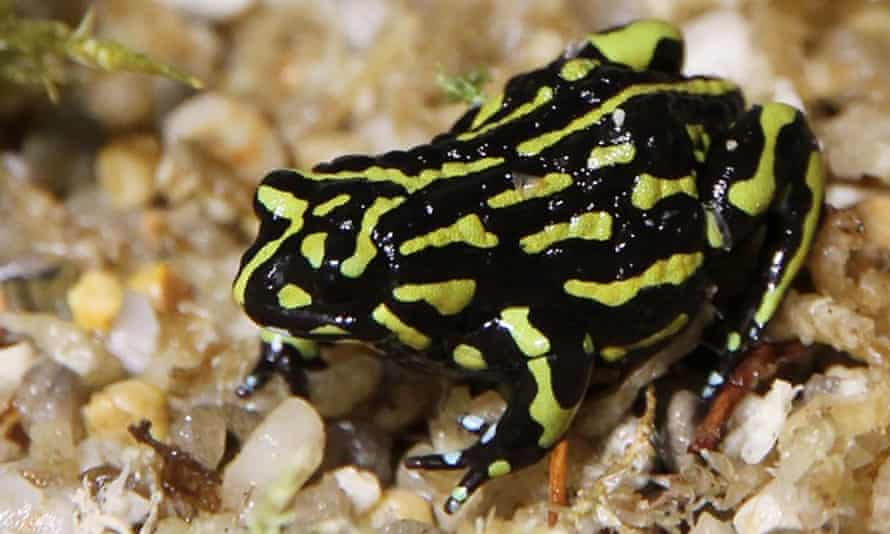 The northern corroboree frog