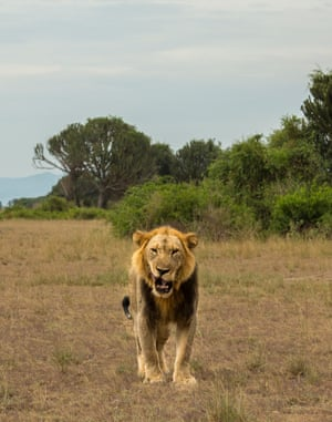 A large male lion yawns while on a territorial patrol