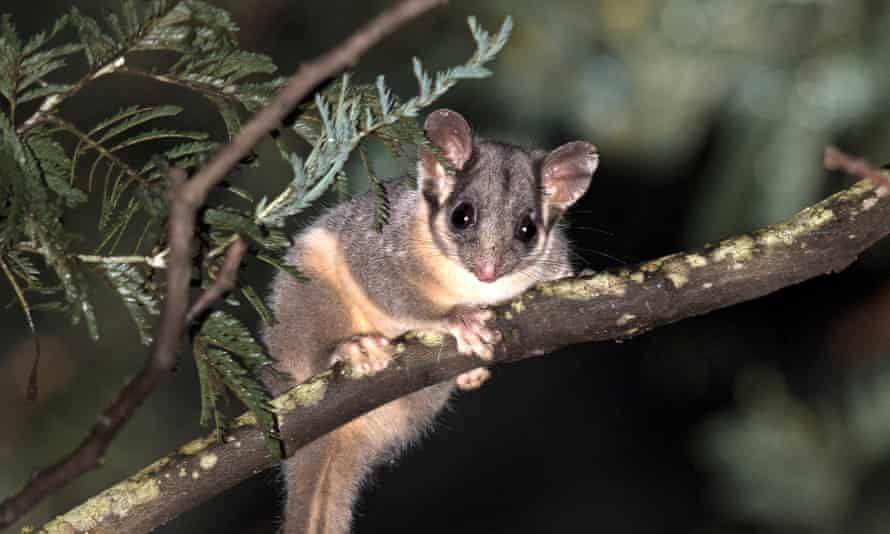 grey and brown furred marsupial with big ears and black eyes clinging to the branch of a tree