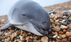 Harbour porpoise washed up on a beach in Kent, England