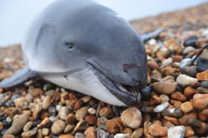 A harbour porpoise is seen washed up on a beach on 29 January in Kent, England