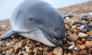 A harbour porpoise washed up on a beach in Kent
