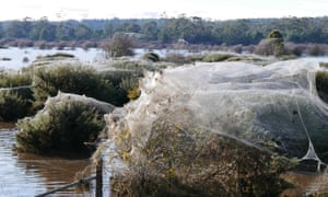 'Ballooning' spiders form thick webs around trees in Westbury, a town in northern Tasmania deluged by flooding.