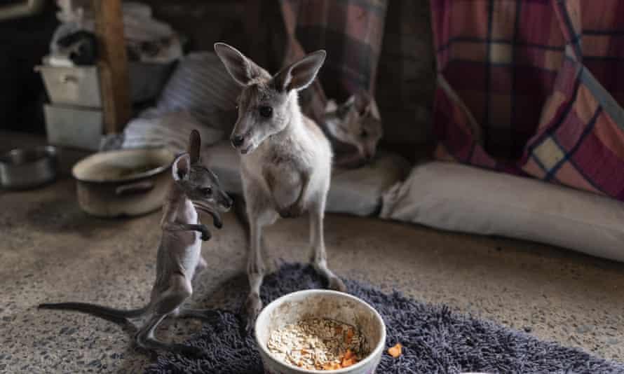 Kangaroos under the care of Wytaliba wildlife carers Julie Willis and Gary Wilson