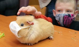 guinea pig in face mask