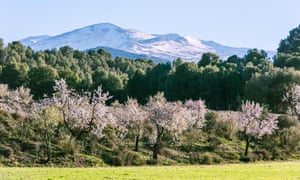 Blooming almond trees and snowy mountains, Sierra Nevad, Andalucía.