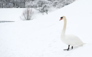A swan stands on a snowy meadow at the Olympic Park in Munich, southern Germany