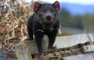 A Tasmanian devil at the Save The Tasmanian Devil Program facility in Cressy