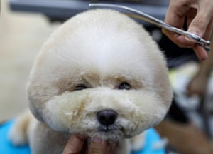 Singapore A Maltese poodle is groomed as pet services resume after the coronavirus outbreak