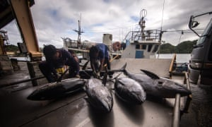 If The Nature Conservancy can demonstrate that circular hooks and fish bait can reduce bycatch without costing a fishing boat its tuna haul, then it could more effectively persuade governments and fishing companies to use the new equipment and practices. In this photo, workers unload the tuna at the dock and ready the fish for inspection and shipment.