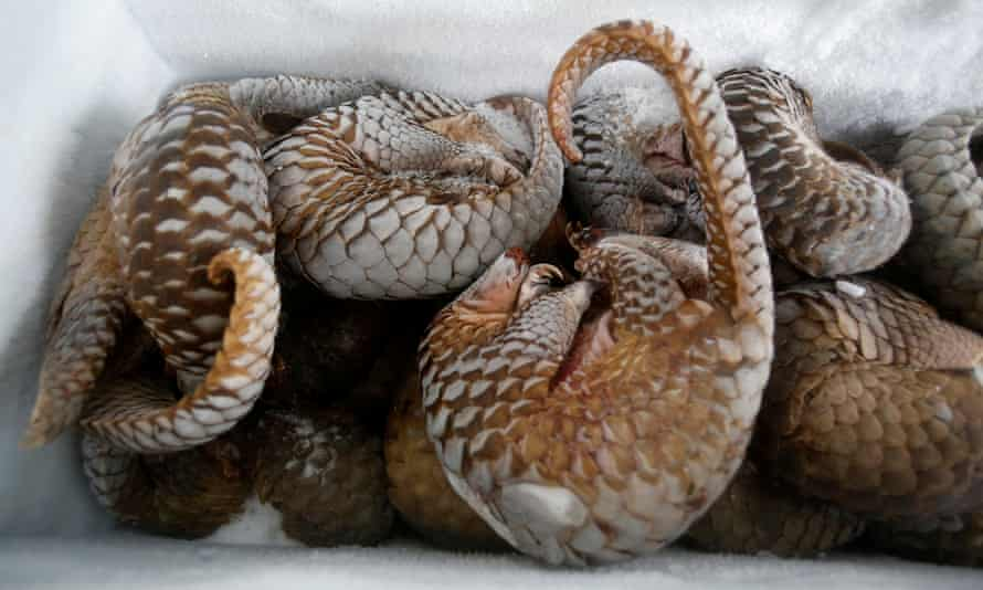 Seized frozen pangolins are seen at a wild animal rescue center in Hanoi, Vietnam September 9, 2016.
