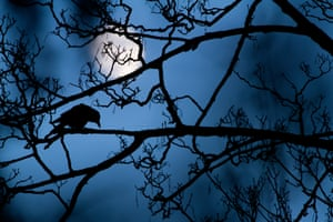 The moon and the crow, Gideon Knight, UK Winner, young wildlife photographer of the yearA crow in a tree in a park: a common enough scene. It was one that Gideon had seen many times near his home in London's Valentines Park. But as the blue light of dusk crept in and the full moon rose, the scene transformed.