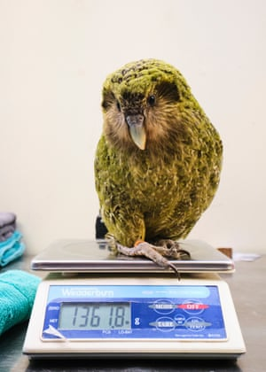 A kakapo sits on scales