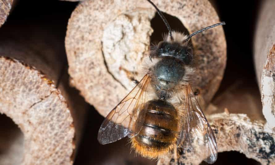 A mason bee, Osmia bicornis, seals a bamboo cane in a manmade bee box.