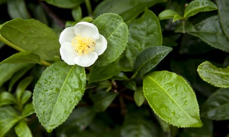 The tea plant can handle anything the British weather throws at it.