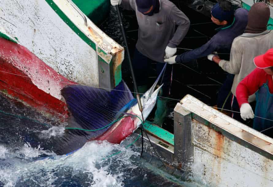 Workers haul a sailfish aboard a Taiwanese longline fishing vessel