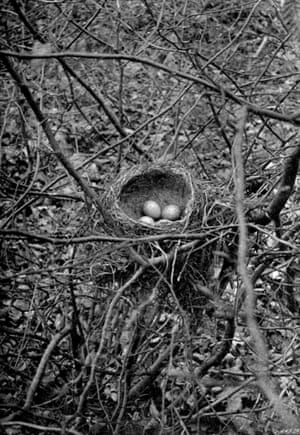 Song thrush's nest, Enfield. The first photograph of a bird's nest with eggs, taken in 1892