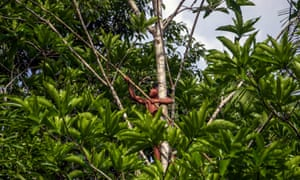 A Waiapi boy climbs up a Geninapo tree to pick fruits to make body paint at the Waiapi indigenous reserve in Amapa state, Brazil.