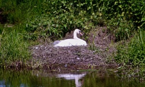 Mute swan in nest on the River Tern