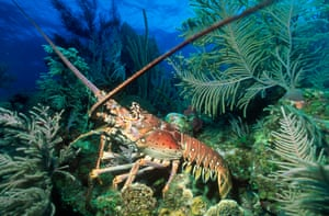 A lobster in the Cayman Islands