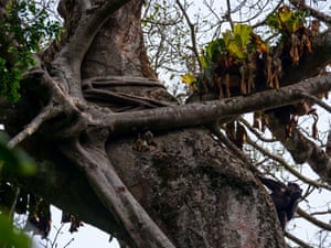 A chimp uses a tool high up in a tree in the Goualougo Triangle in Nouabalé-Ndoki national park, Congo-Brazzaville
