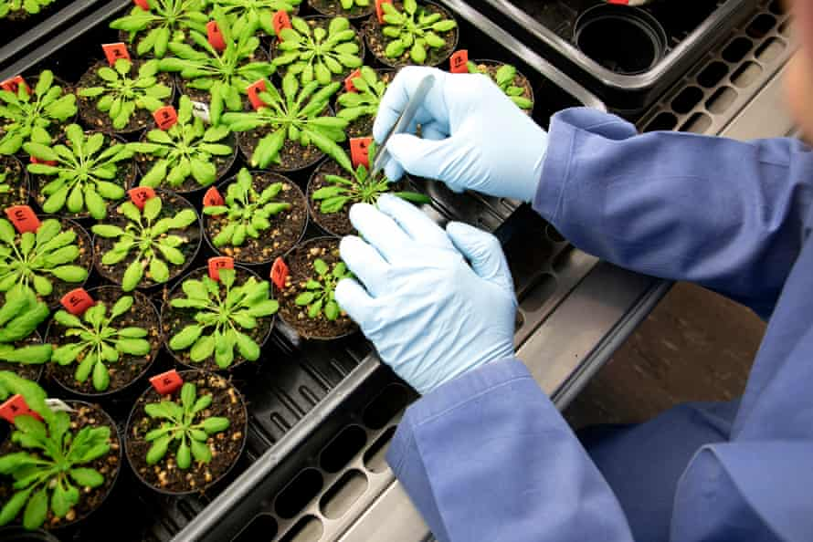 Plants in a grow cabinet at KeyGene, a company that works with gene manipulation